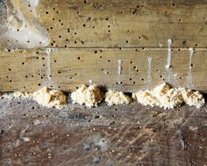 Wood borer beetle
